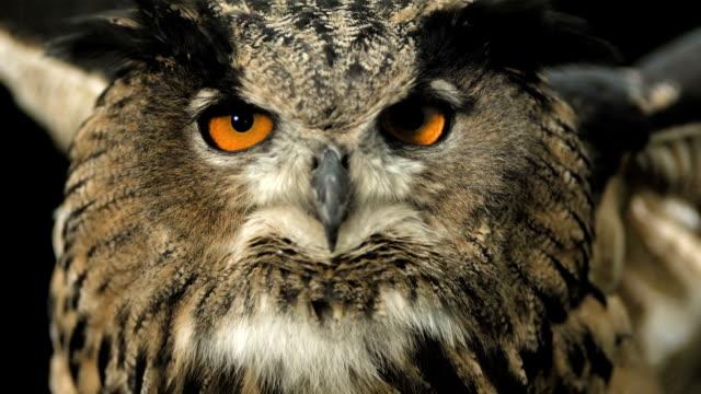 stockvideo's en b-roll-footage met hd super slow-mo: horned owl spreading wings - uil