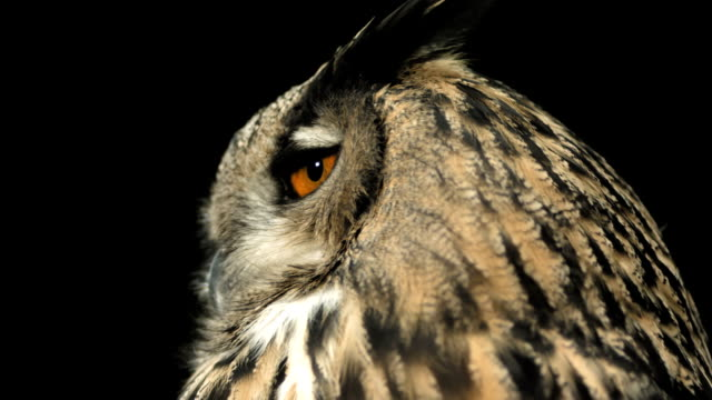 HD Super Slow-Mo: Horned Owl Turning Head