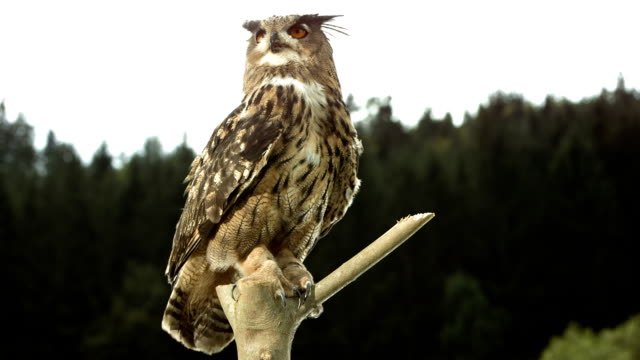 HD Super Slow-Mo: Horned Owl