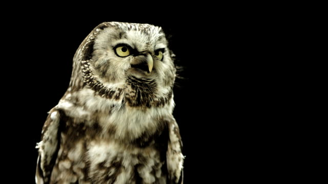 HD Super Slow-Mo: Little Owl Calling