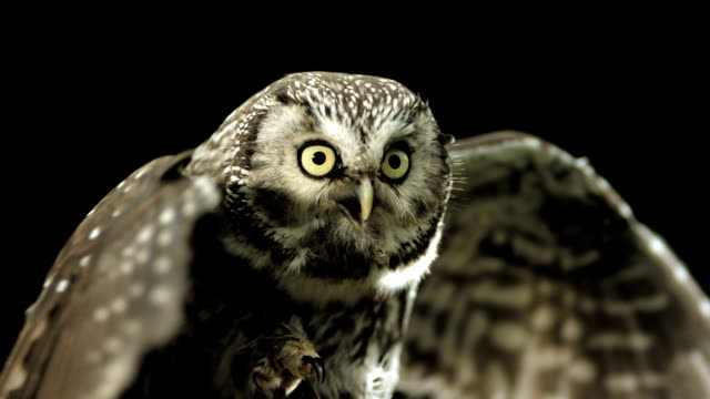 hd super slow-mo: little owl spreading wings - animal wing stock videos & royalty-free footage