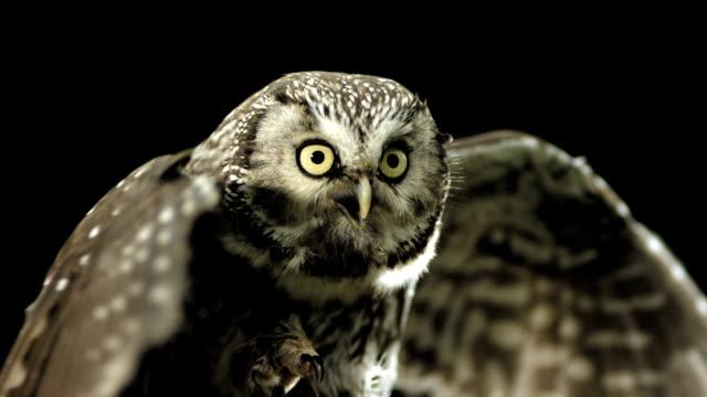 stockvideo's en b-roll-footage met hd super slow-mo: little owl spreading wings - dierenvleugel