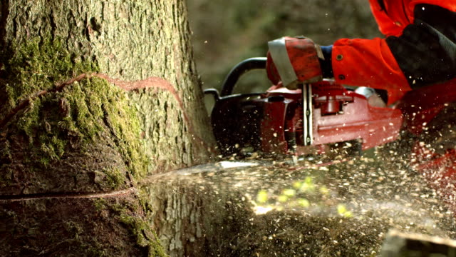 hd super slow-mo: logger cutting a humbolt notch - lumberjack stock videos & royalty-free footage