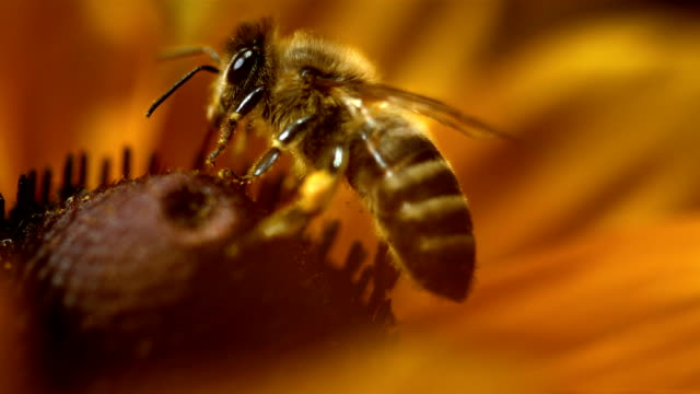 stockvideo's en b-roll-footage met hd super slow-mo: macro shot of a bee collecting pollen - macrofotografie