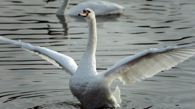 hd super slow-mo: mute swan spreading wings - swan stock videos and b-roll footage