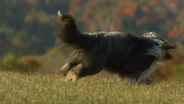 HD Super Slow-Mo: Playful Bearded Collie In Grass