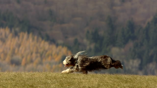 stockvideo's en b-roll-footage met hd super slow-mo: purebred dog running on the lawn - animal hair