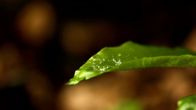 HD Super Slow-Mo: Raindrop Falling On A Green Leaf
