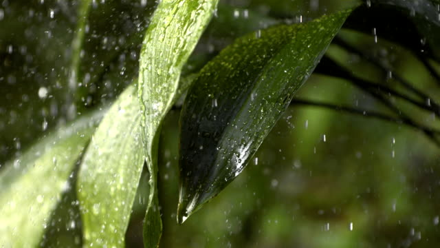 HD Super Slow-Mo: Raining On Green Leaves