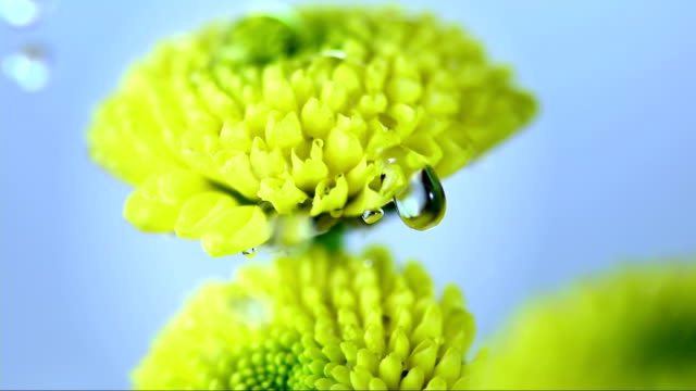 HD Super Slow-Mo: Raining On Yellow Flowers