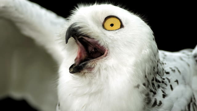 hd super slow-mo: snowy owl calling - owl stock videos & royalty-free footage