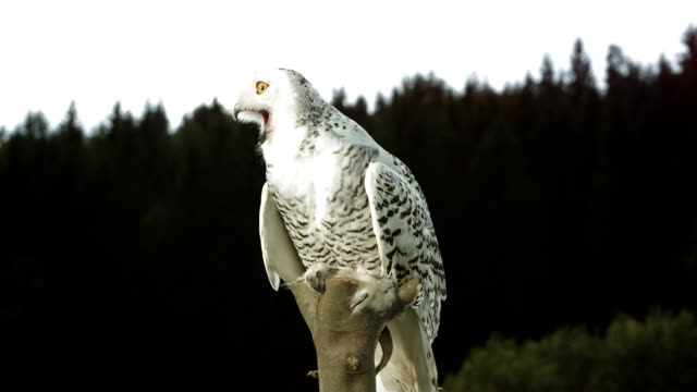 hd super slow-mo: snowy owl sitting on a branch - snowy owl stock videos and b-roll footage