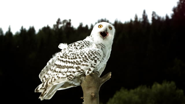 hd super slow-mo: snowy owl - snowy owl stock videos and b-roll footage