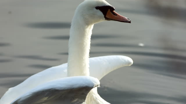hd super slow-mo: swan spreading wings - swan stock videos and b-roll footage