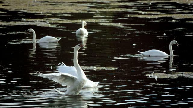 hd super slow-mo: swan spreading wings - mute swan stock videos & royalty-free footage