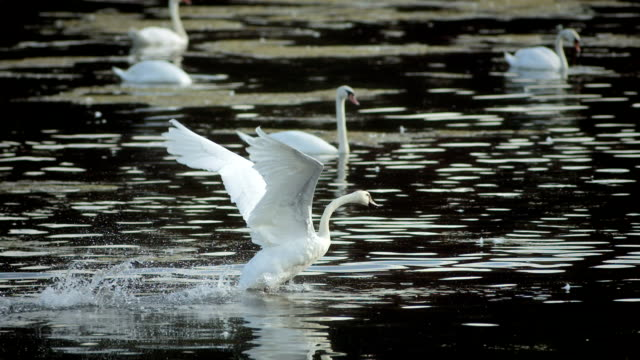hd super slow-mo: swan taking off - swan stock videos and b-roll footage