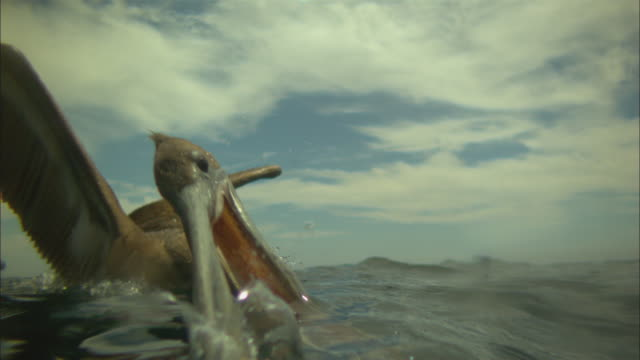 Super SLO MO surface level CU of Brown Pelican striking at fish very close to camera