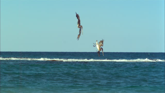 vídeos de stock e filmes b-roll de super slo mo ws tilt with 2 brown pelicans plunge diving for fish  - pelicano