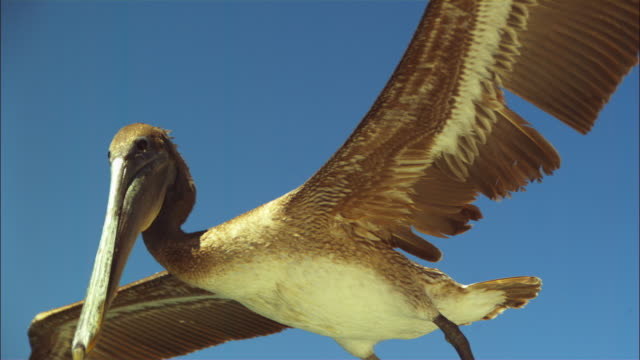 Super SLO MO LA MS track with Brown Pelican flying and gliding very close to camera