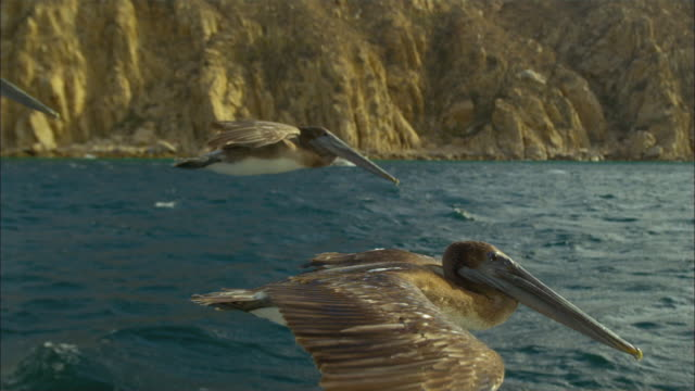 Super SLO MO MS track with Brown Pelican flying and gliding very close to camera