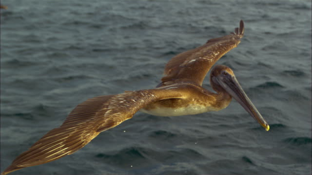 vídeos de stock e filmes b-roll de super slo mo cu track with brown pelican flying and gliding very close to camera  - pelicano