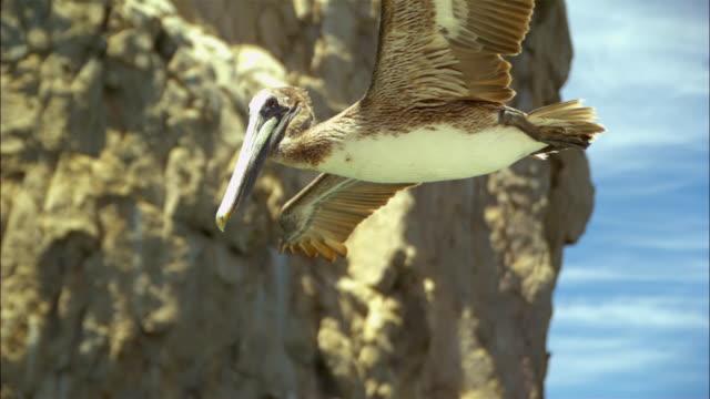 super slo mo la ms track with brown pelican flying very close to camera  - utfällda vingar bildbanksvideor och videomaterial från bakom kulisserna