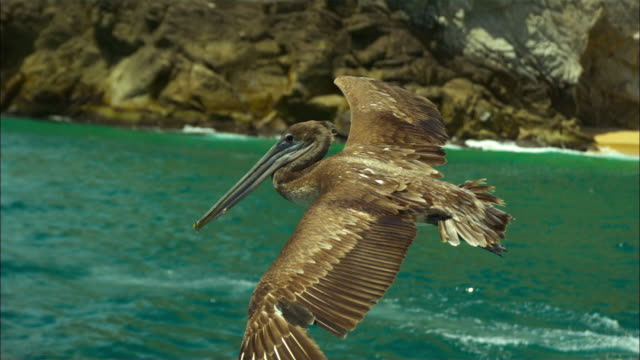 vídeos de stock e filmes b-roll de super slo mo ms track with brown pelican flying very close to camera  - pelicano