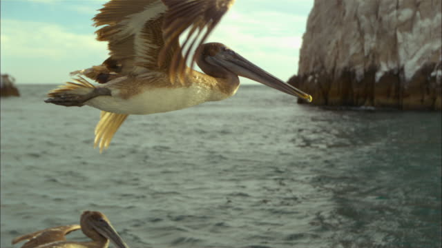 vídeos de stock e filmes b-roll de super slo mo ms track with brown pelican flying very close to camera  - asa de animal