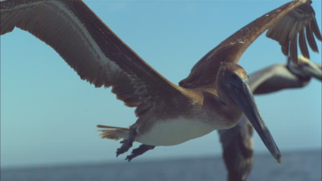 vídeos de stock e filmes b-roll de super slo mo cu track with brown pelican flying very close to camera  - pelicano