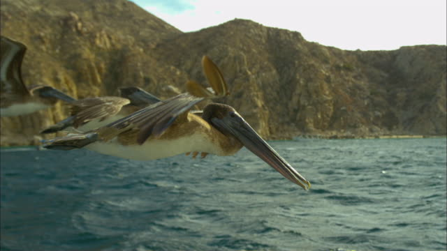 stockvideo's en b-roll-footage met super slo mo ms track with brown pelican gliding then stalling and diving very close to camera  - pelikaan