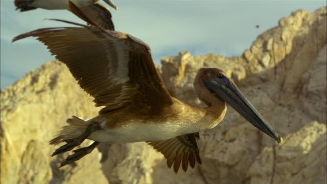 super slo mo ms track with brown pelican gliding then stalling and diving very close to camera  - utfällda vingar bildbanksvideor och videomaterial från bakom kulisserna