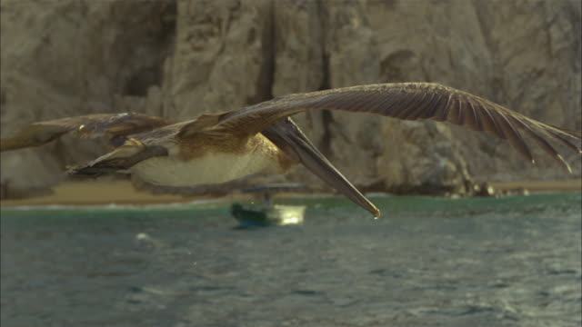 vídeos de stock e filmes b-roll de super slo mo ms track with brown pelican gliding then stalling and diving very close to camera  - pelicano