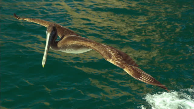 vídeos de stock e filmes b-roll de super slo mo ms track with brown pelican gliding very close to camera  - pelicano