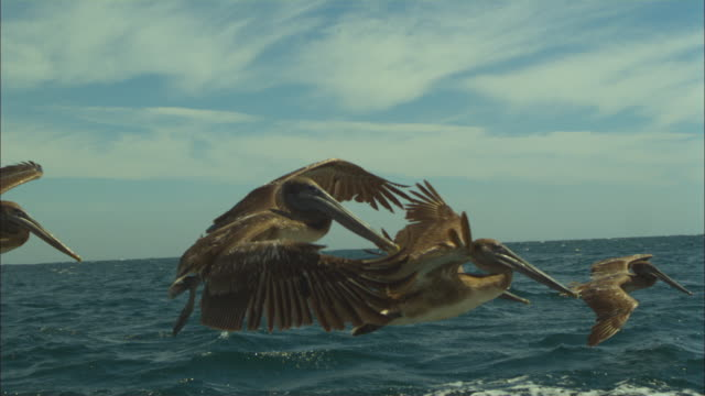 super slo mo ms track with group of brown pelicans flying and gliding very close to camera  - pelican stock videos & royalty-free footage