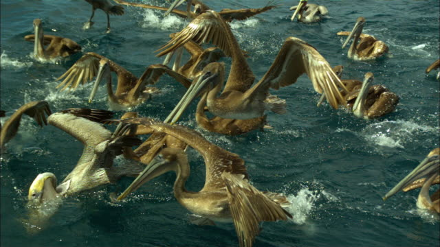 Super SLO MO track with group of Brown Pelicans swimming then diving on fish very close to camera