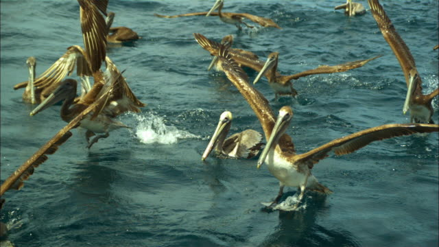 vídeos de stock e filmes b-roll de super slo mo track with group of brown pelicans taking off from water very close to camera  - pelicano