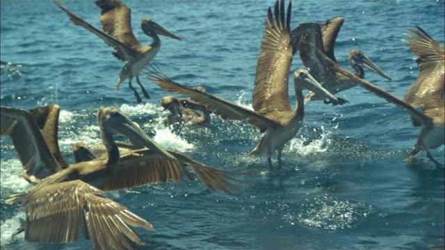 Super SLO MO track with group of Brown Pelicans taking off from water very close to camera