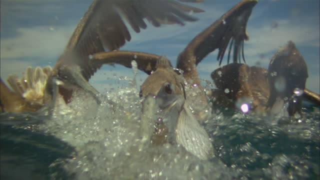 super slo mo underwater and surface cu of brown pelican scooping up fish very close to camera  - pelican stock videos & royalty-free footage