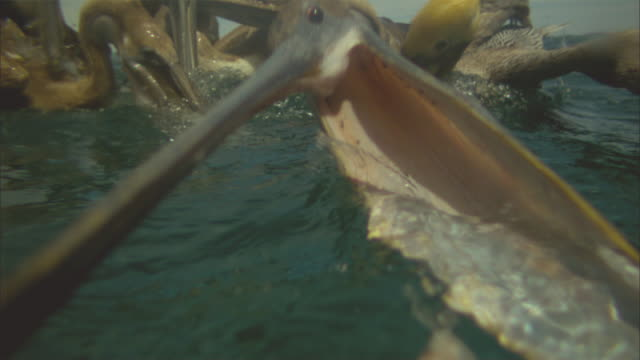 vídeos de stock e filmes b-roll de super slo mo underwater and surface cu of brown pelican striking at fish and engulfing camera - pelicano