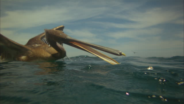 Super SLO MO underwater and surface CU of Brown Pelican striking in profile at fish very close to camera