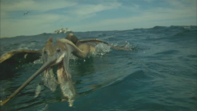 Super SLO MO underwater and surface shot of 2 Brown Pelicans striking to camera at fish near surface very close to camera