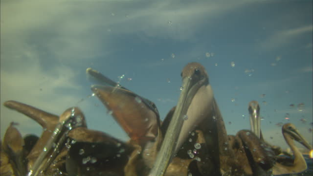 super slo mo underwater and surface shot of group of brown pelicans striking to camera at fish near surface very close to camera  - pelican stock videos & royalty-free footage