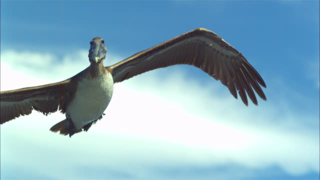 vídeos de stock e filmes b-roll de super slo mo ms pan with brown pelican flying sideways very close to camera - pelicano