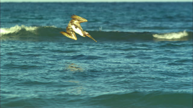 super slo mo ws pan with brown pelican plunge diving for fish in winter plumage - pelican stock videos & royalty-free footage