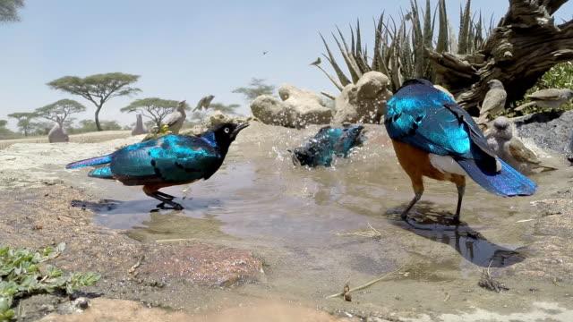 vídeos y material grabado en eventos de stock de estornino soberbio - baño para pájaros