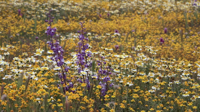 Superbloom: Delphinium, Tidy Tips, and Goldfields in bloom in Carrizo Plain, California