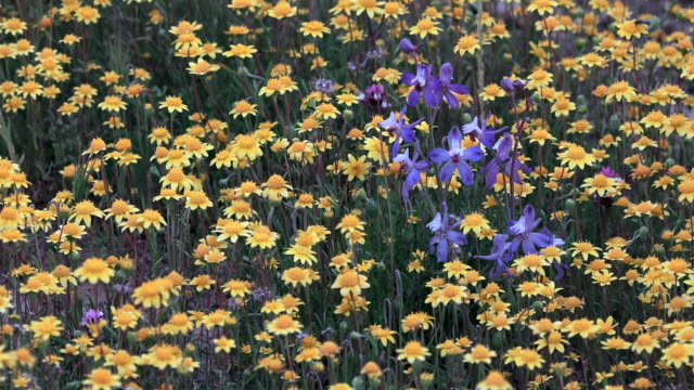 Superbloom: Goldfields and Delphinium in bloom in Carrizo Plain, California