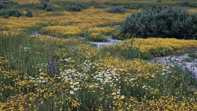 Superbloom: Goldfields, Tidy Tips and Delphinium in bloom in Carrizo Plain, California