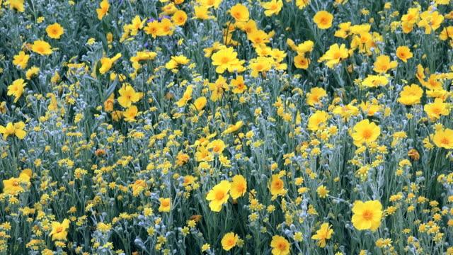 Superbloom: Leafy-stemmed Stickseed in bloom in Carrizo Plain, California