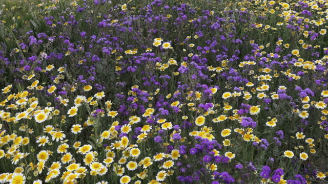 superbloom: tidy tips and phacelia in bloom in carrizo plain, california - wildflower stock videos & royalty-free footage